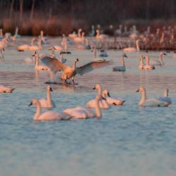 Pungo Lake Tundra Swans