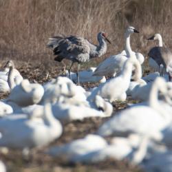 sandhill crane snow geese pungo
