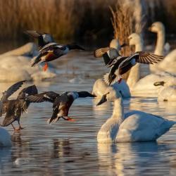 Shoveler Ducks Landing