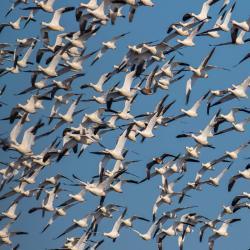 snow geese pungo lake