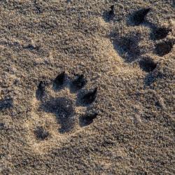 Racoon foot prints
