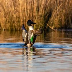 shoveler duck pungo lake preening