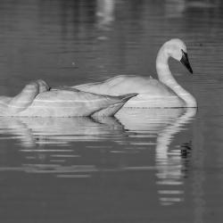 tundra swans pungo lake