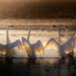 Swan Song--The 4 Tenors