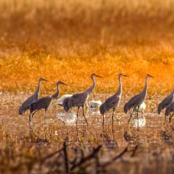 Sandhill Cranes at Pungo Lake