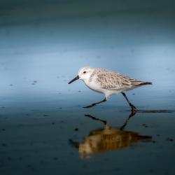 Sanderling Sandpiper--Non Breeding Adult