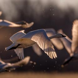 Tundra Swans Flying Pungo Lake