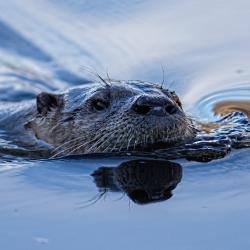 River Otter in Canal
