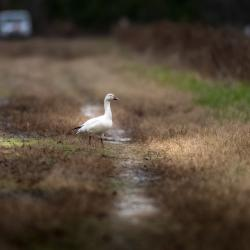 Snow Goose all alone