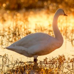Tundra Swan at Sunrise