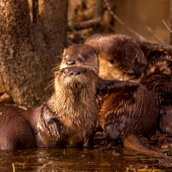 River Otters Preening