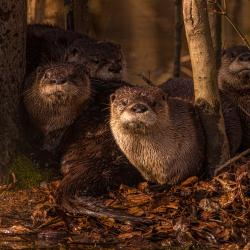 River Otters Family Portrait