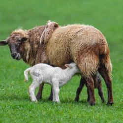 Little Lambs with tails