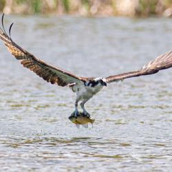 Osprey with a Sunfish
