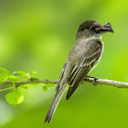 Eastern Phoebe with Moth