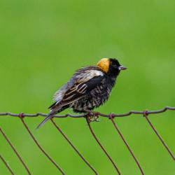 Bobolink on the Fence