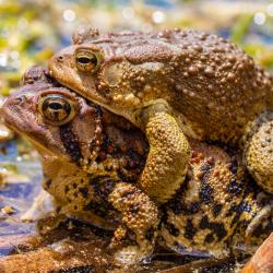 Eastern Toads Matting