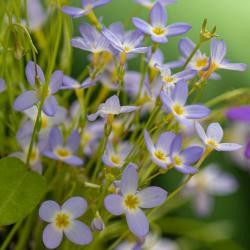 Azure Bluet Wildflowers