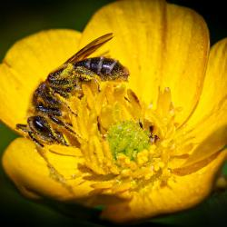 Bee on Buttercup Flower