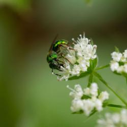 Green Orchid Bee on flower
