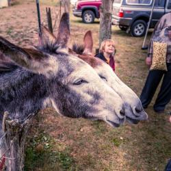 2 donkeys at Traditions Day