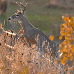 8 Point Buck Jumping Fence