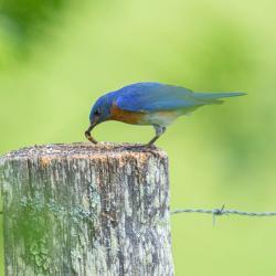 Bluebird Eating Caterpillar