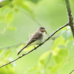 Eastern Phoebe with Grasshopper