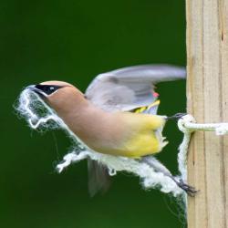 Cedar Waxwing Nesting Material