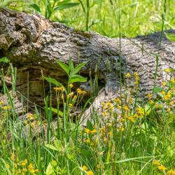 Ground Hog in Tree Trunk