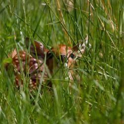 Baby Fawn Hiding
