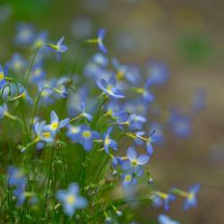 Tiny Bluet Flower