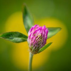 Red Clover Flower
