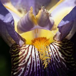 Purple Yellow Bearded Iris