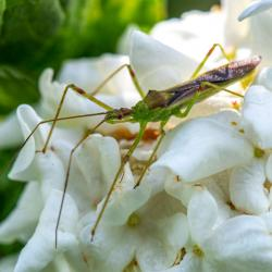Assassin Bug Zelus Luridus