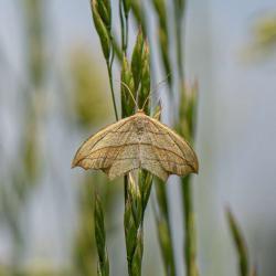 Blood-vein Moth