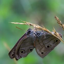 Little Wood Satyr Butterflies Mating