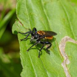 Mydas Fly