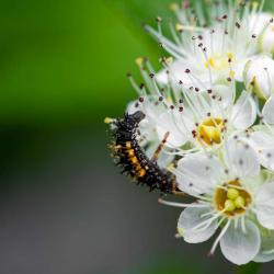 Ladybug Larvaes