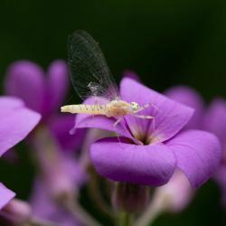 Light Cahill Mayfly