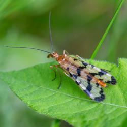 Scorpionfly Panorpa Nuptialis