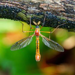 Male Crane Fly Ctenophora Nubecula