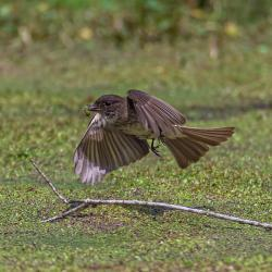 Eastern Phoebe Catching Spider