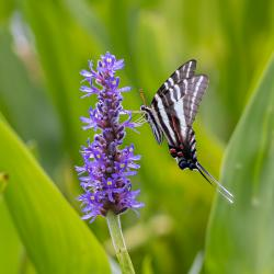 Zebra Swallowtail Butterfly on Pickerelweed