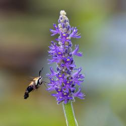 Snowberry Clearwing Moth-Hemaris diffinis