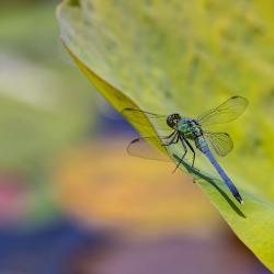Green Blue Dragonfly