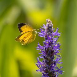Orange Sulfur Butterfly on Pickerelweed