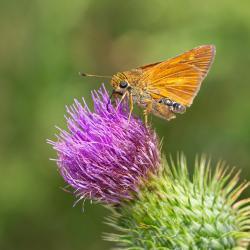 Byssus Skipper Butterfly