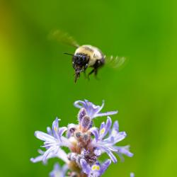 Bumblebee cleaning its Maxilla