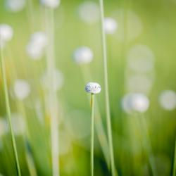 Bog Buttons Wildflower
